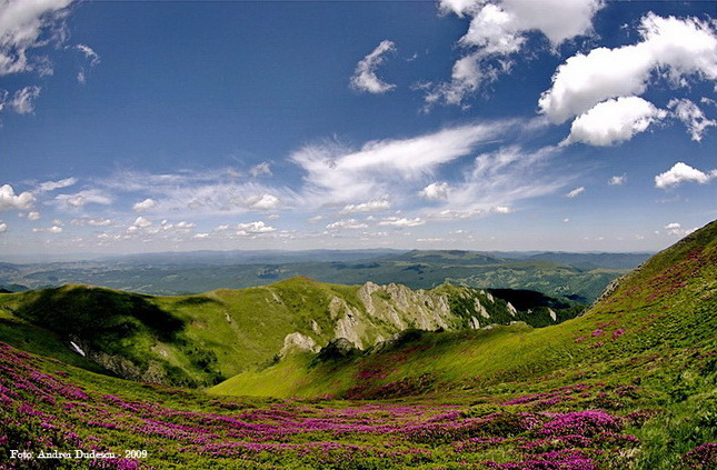 Rododendron în Ciucaș