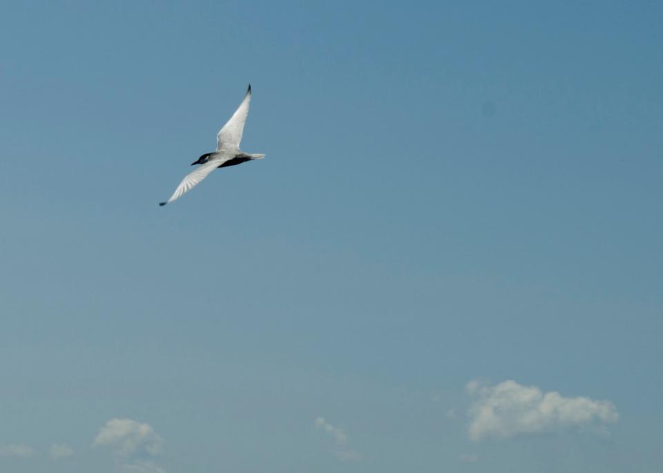 Pasăre măiastră I (Chirighiță)