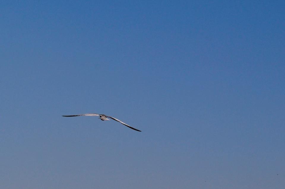 Pasăre măiastră II (probabil tot chirighiță)