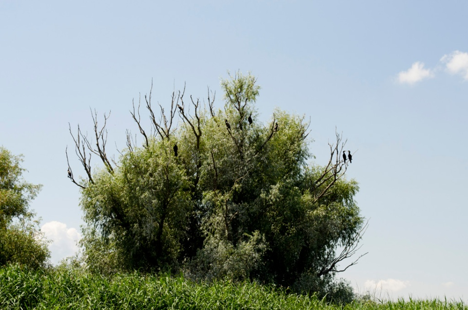 Cartier general de cormorani. Ușor de depista după vegetația uscată care o lasă în urma lor.