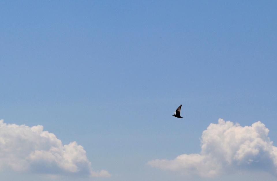 Pasăre măiastră III