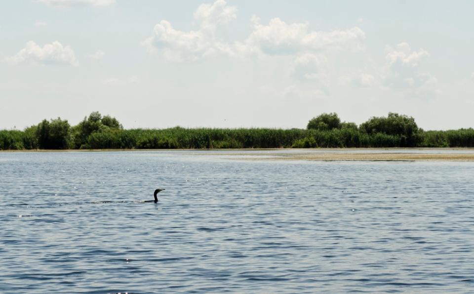 Un cormoran la vânat